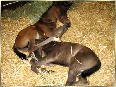 Click to view the Twin Arabian Foals